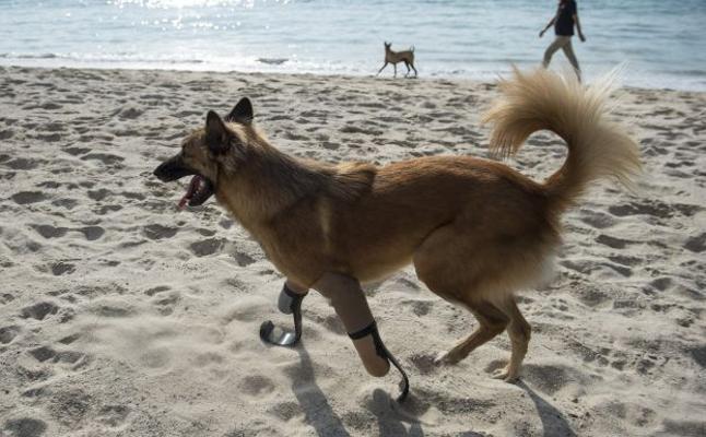Cola vuelve a caminar después de que le cortarán las patas con un sable