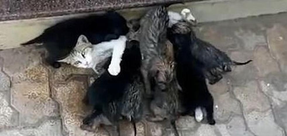 Una gata amamanta a ocho cachorros de perro abandonados por su madre