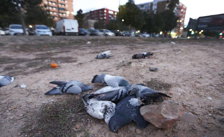 Fotos de las palomas muertas aparecidas en Malilla