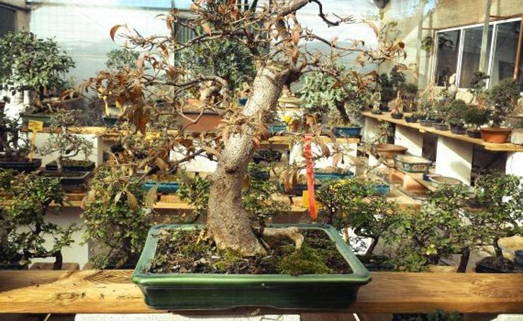Fotos de bonsáis, la naturaleza en envase pequeño