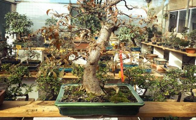 Un rincón en Alboraia rendido a los bonsáis
