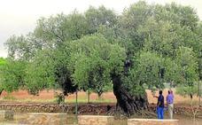 El árbol singular, monumento natural y cultural