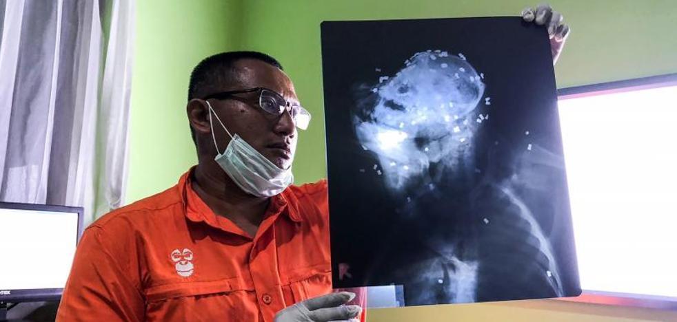 La Policía indonesia investiga la muerte de un orangután con 130 perdigones en Borneo