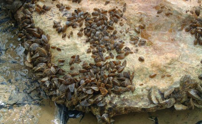 La plaga de mejillón cebra se extiende también por el mayor pantano del Júcar