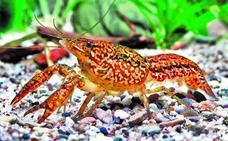 el cangrejo que asombra a los científicos