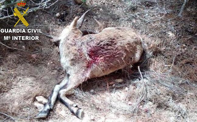 La Guardia Civil localiza cuatro cabras hispánicas muertas en unos baños públicos