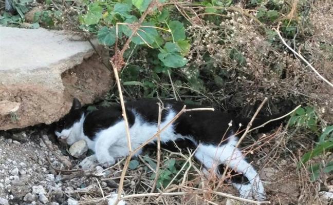 Denuncian nuevos envenenamientos en colonias de gatos de Massanassa