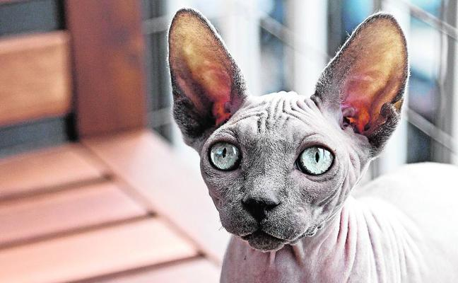 La moda de los gatos sin pelo