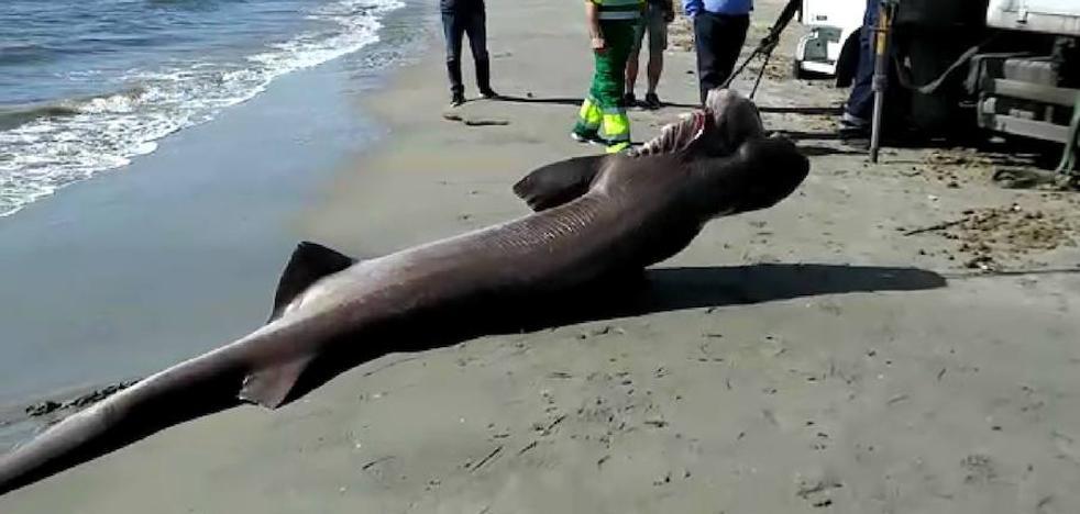 Aparece muerto un tiburón de 3,6 metros y más de 200 kilos en una playa alicantina
