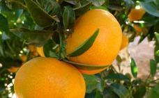 Mandarinas valencianas que triunfan fuera