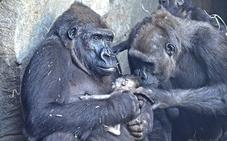 Nace en el Bioparc de Valencia un gorila occidental de costa en peligro de extinción