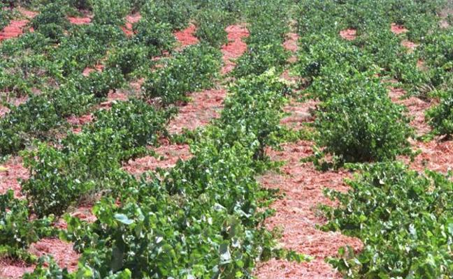 Productores de cava de Utiel-Requena piden a Cebrián que presione al ministerio para lograr 93 hectáreas más de viñedo