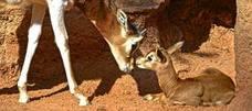 Nace en el Bioparc una gacela Mhorr, una especie extinta en la naturaleza