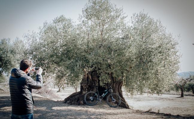 De ruta entre olivos milenarios