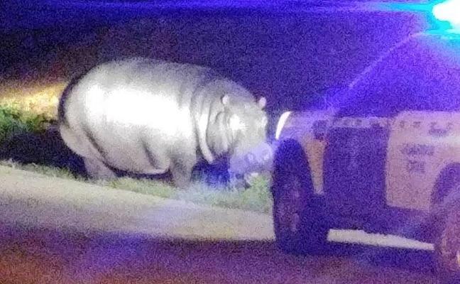 Un hipopótamo pasea por un pueblo de Badajoz tras escaparse de un circo