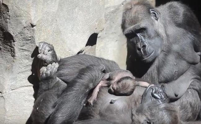 Nace Pepe, el cuarto bebé gorila en Bioparc Valencia