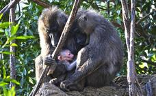 Nace en el Bioparc una cría de dril, uno de los primates más amenazados de África