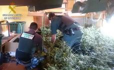 La Guardia Civil desmantela en Pedreguer un cultivo indoor con más de 800 plantas de marihuana
