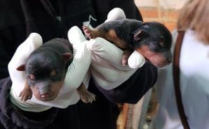 La Policía Local y Modepran llaman a acoger a los perros encontrados en el criadero ilegal