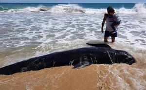 Aparece una ballena calderón de 4 metros en una playa de Elche