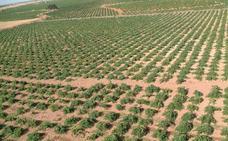 El cambio climático incrementa el grado alcohólico de los vinos de Castilla-La Mancha