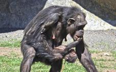 Muere la cría de chimpancé de 10 días nacida ante el público del Bioparc de Valencia