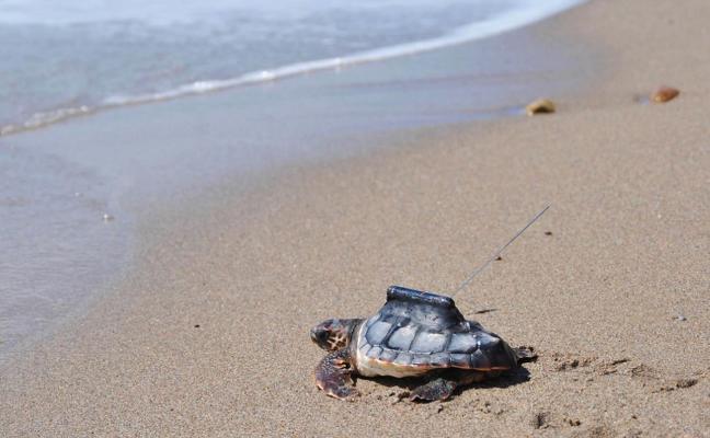 Un estudio del Campus defiende la cría de tortugas en cautividad