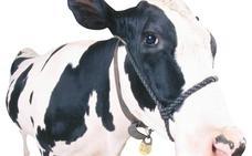 Las vacas pesarán 900 kilos y serán los animales más grandes sobre la Tierra