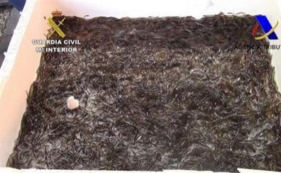 Interceptan 113 kilos de angulas en Barajas para enviar a Hong Kong