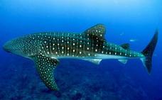 20.000 kilómetros tras el pez más grande del mundo