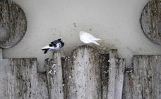 Las palomas tendrán 'antibaby' en 16 barrios
