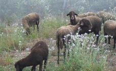 El Ayuntamiento quiere introducir rebaños de ovejas en el nuevo cauce del Turia y Benimàmet