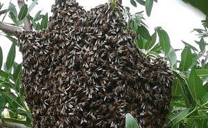 La gran floración de azahar multiplica los enjambres silvestres de abejas