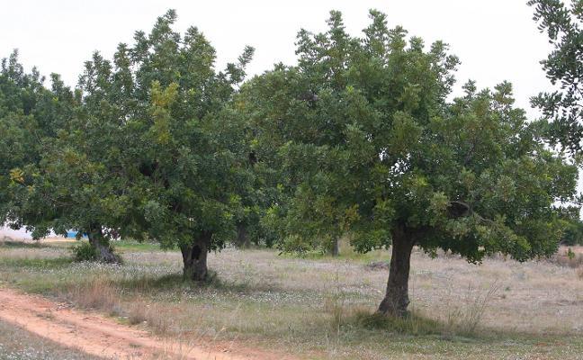 Pistachos, algarrobos o caquis para campos afectados de Xylella