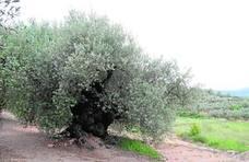 Olivarera Cervol de Traiguera supera el millón de litros en aceite de oliva virgen extra