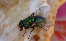 Estos son los peligros que corres si una mosca se posa en tu comida