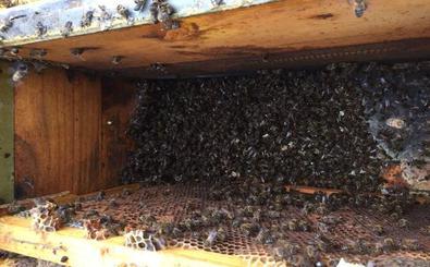 Asaja: 498 colmenas afectadas por envenenamientos en los últimos dos meses