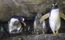 Cuatro pingüinos Juanito nacen en el Oceanogràfic de Valencia