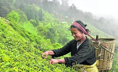 Inglaterra se queda sin té Darjeeling