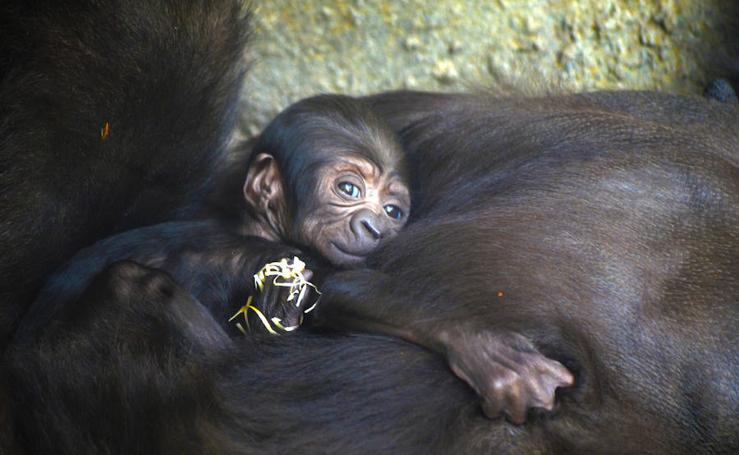 Fotos del bebé gorila nacido en Bioparc
