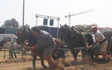 Pacma denuncia ante la Generalitat Valenciana y el Gobierno el «maltrato a los caballos» en el tiro y arrastre