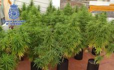 Desmantelado un punto de cultivo y venta de marihuana en Gandía