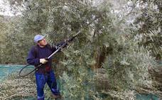 La Unió de Llauradors anuncia que la cosecha de aceitunas aumentará un 21%