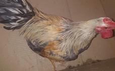 Intervienen gallos y perros en un corral del Cabanyal