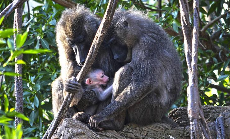 Nace una cría de Dril en el Bioparc Valencia