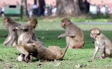 La Policía de India busca a un mono que supuestamente secuestró a un bebé