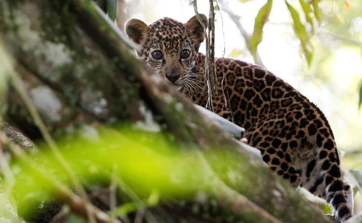 Los jaguares del Amazonas
