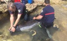 Rescatan un delfín muerto en la orilla de la playa de Xilxes