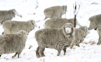 Zara y H&M anuncian que no usarán más lana de mohair