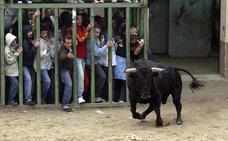 Segunda cogida por un toro en el 'bou per la vila' en los últimos cinco días